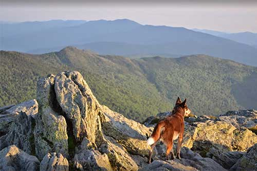 A dog at the summit of Camel's Hump (photo credit: Kara Chester)