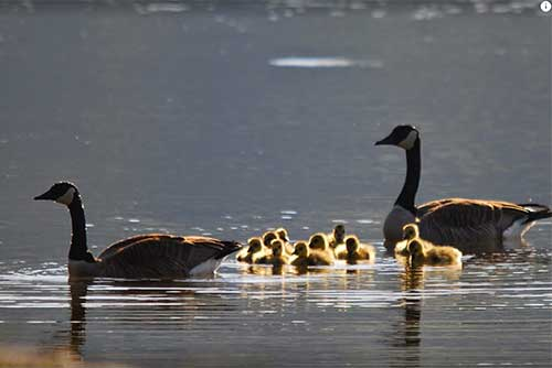 Ducks swim by at Crystal Lake State Park (photo credit: Barry Solman)