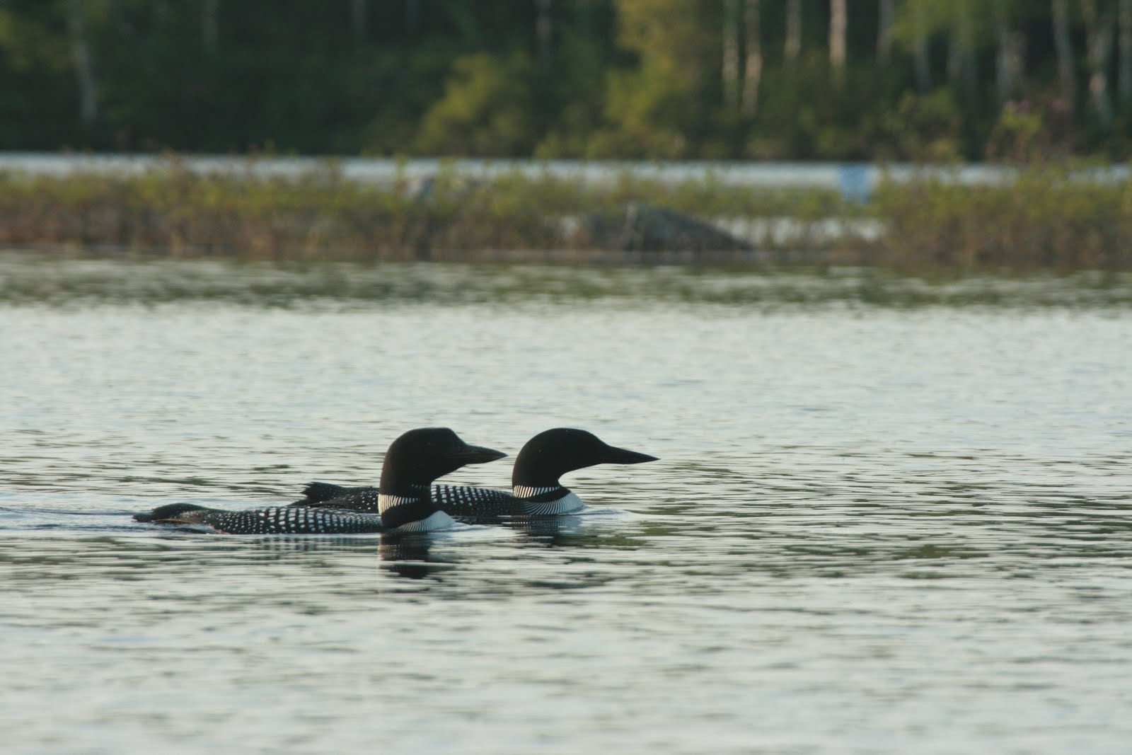 Loons at Spectacle Pond